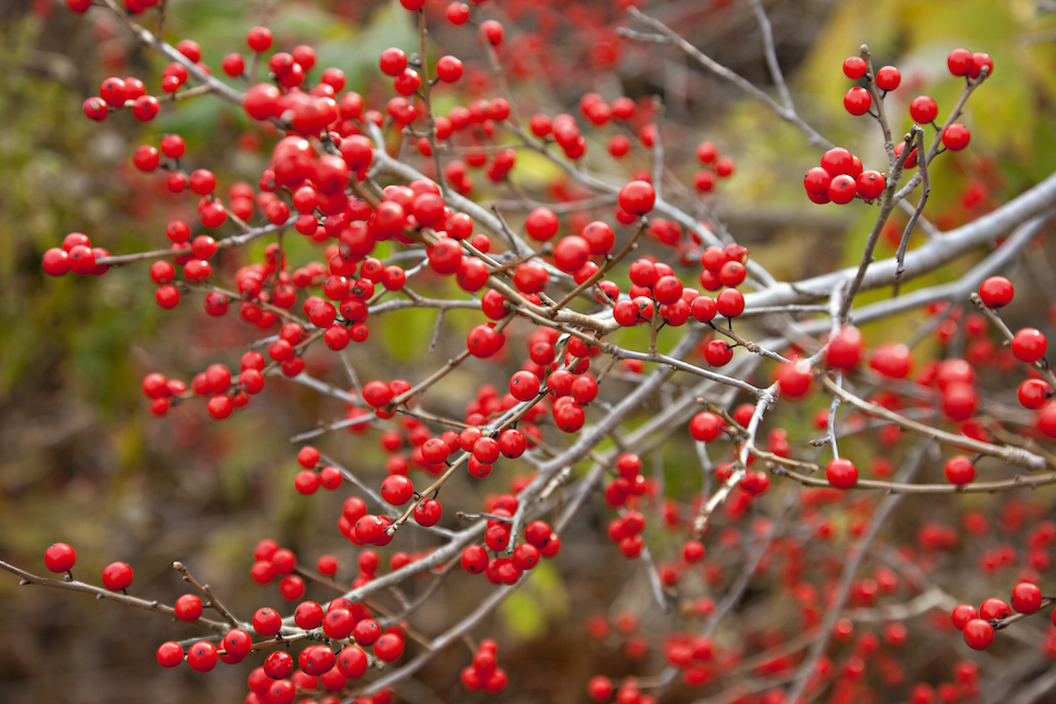 Winterberry background. Ilex verticillata, the winterberry, is a species of holly native to eastern North America in the United States and southeast Canada, from Newfoundland west to Ontario and Minnesota, and south to Alabama. Other names that have been used include Black Alder Winterberry, Brook Alder, Canada holly ,