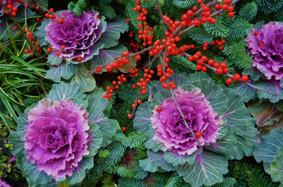 Ornamental Cabbage/Kale