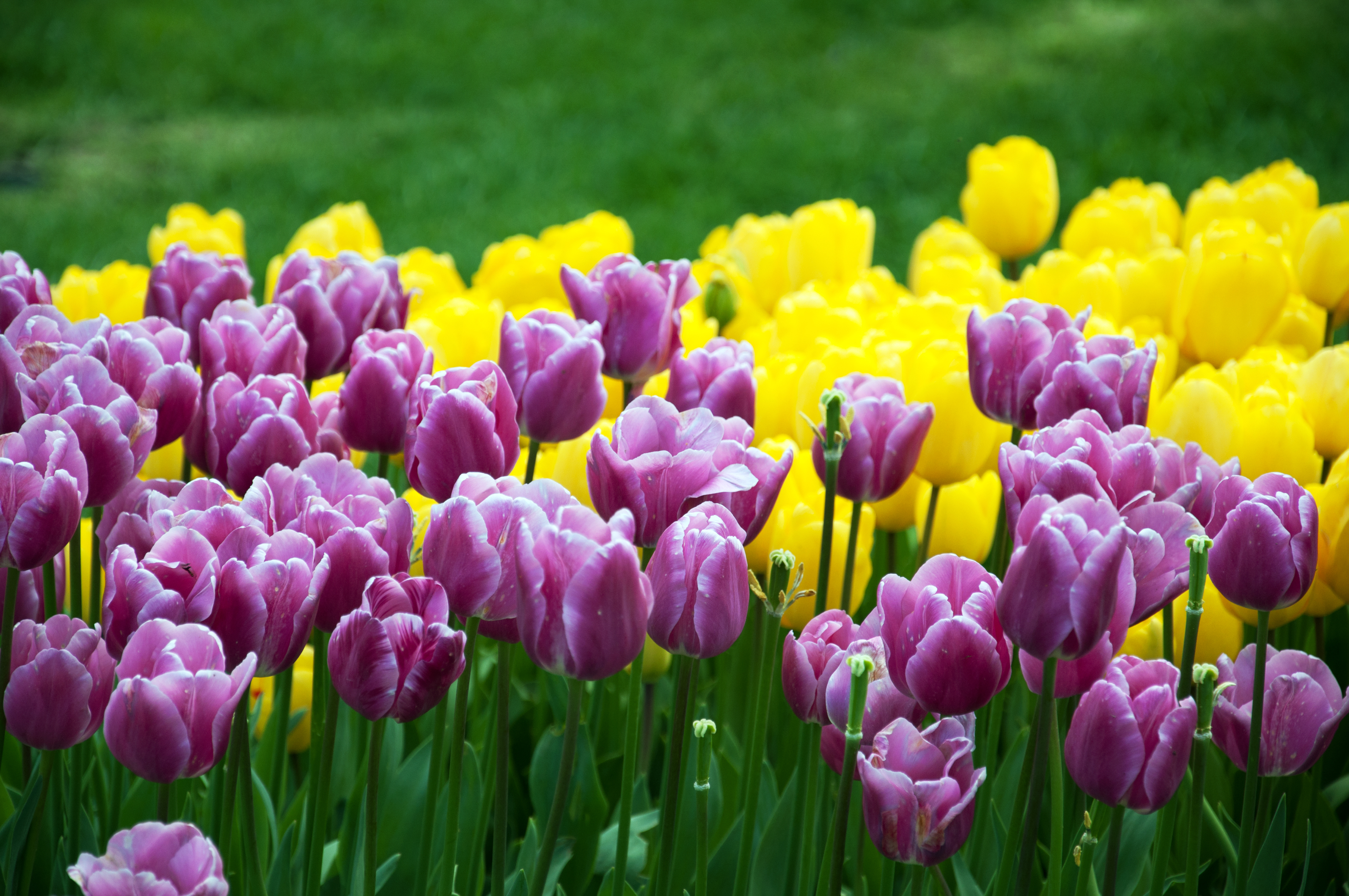 colorful tulip flowers at garden