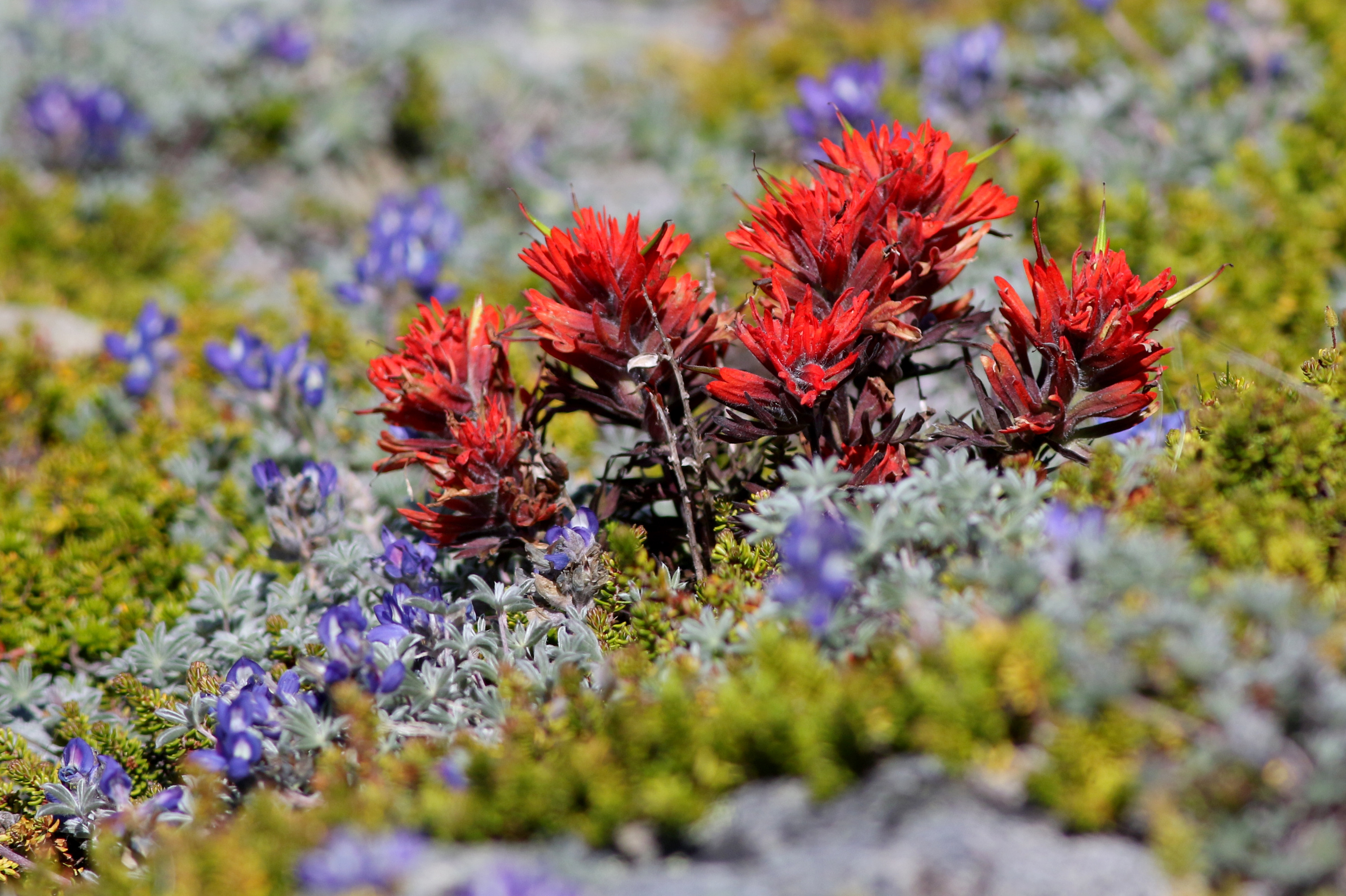 Indian Paintbrush (Castilleja miniata) blooming at high elevation