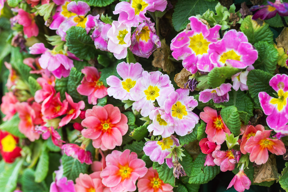 different colored primrose blooming in spring