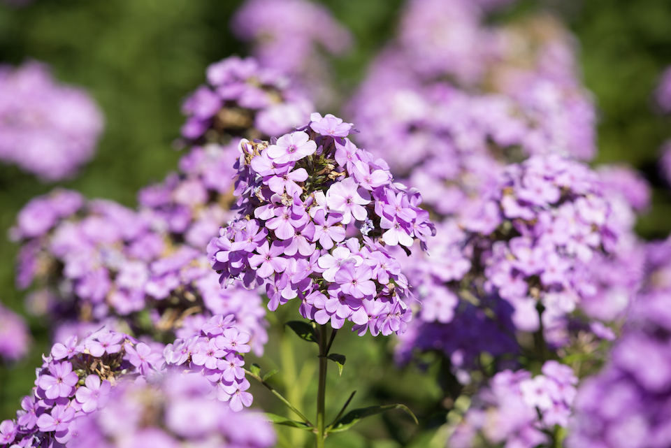Close-up of Phlox hesperis