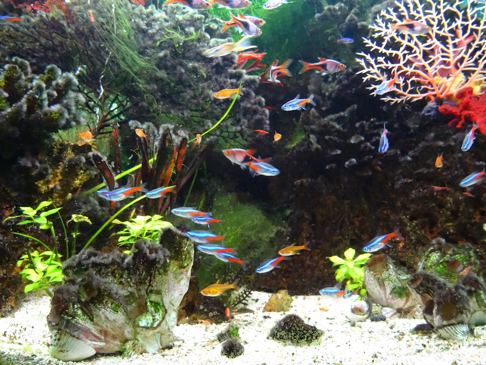 Photo showing a freshwater tropical fish tank, landscaped with rocks, plastic plants and artificial seaweed / tree coral, resin barnacles and coral sand to appear like a marine aquarium. Pictured swimming in the foreground of the aquarium are various small tropical fish and shrimp, including: