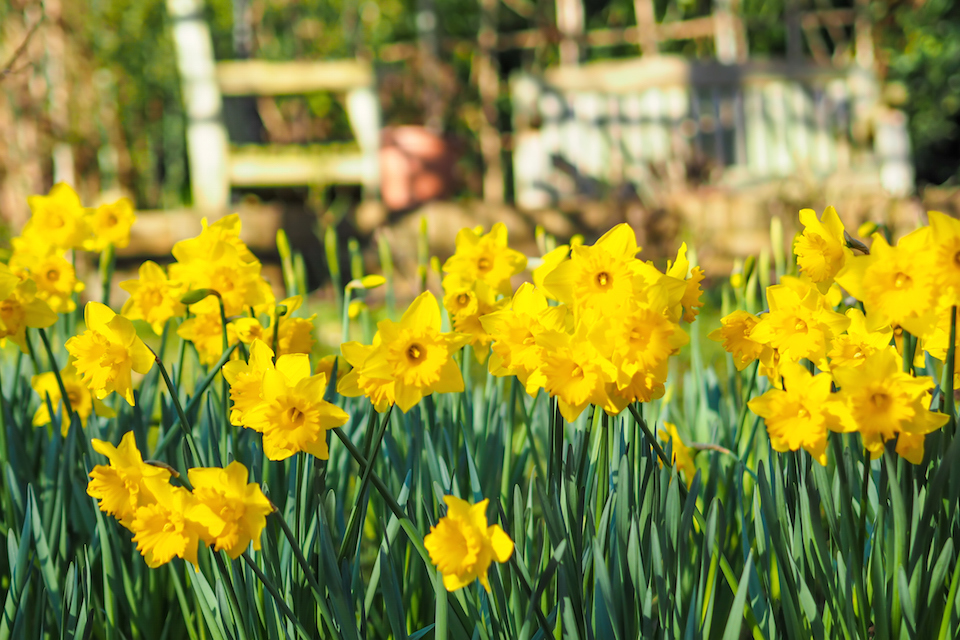 Beautiful yellow daffodils in the garden