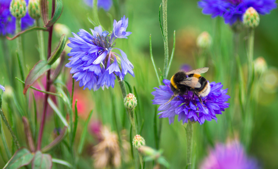 Close up of bumble bee pollinating wildflowers in the meadow